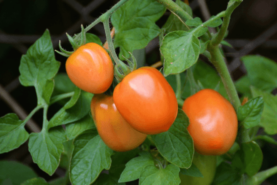 Homestead Blog Hop Feature - Determine vs Indeterminate Tomatoes