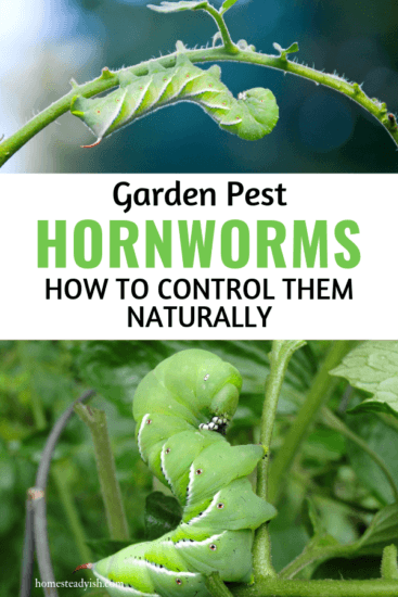 Homestead Blog Hop Feature - Garden Pest Tomato Hornworm