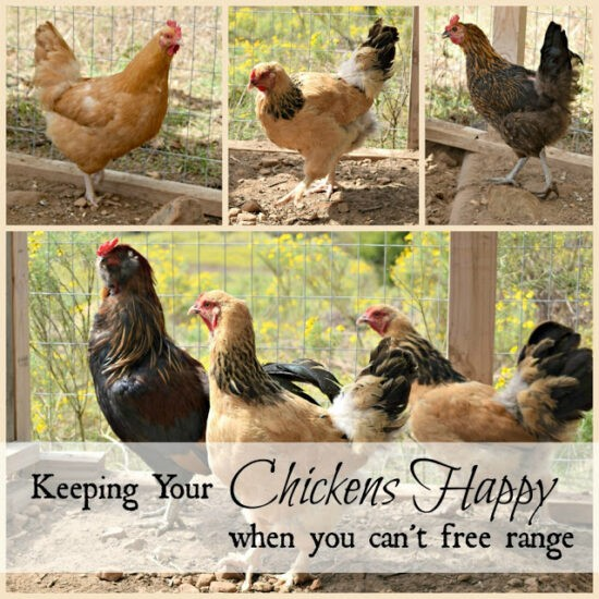 Homestead Blog Hop Feature - Keeping your Chickens Happy When you Can't Free Range
