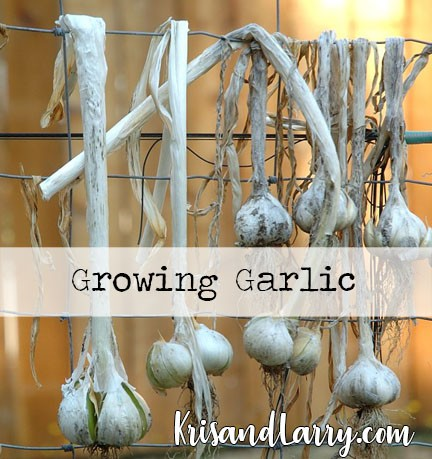 Homestead Blog Hop Feature - Types of Garlic