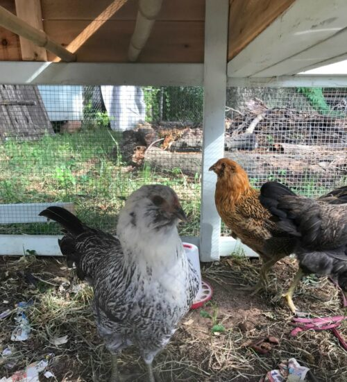 Homestead Blog Hop Feature - Top 10 Tips for Caring for Backyard Chickens