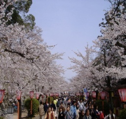 Cherry Blossom Festival in Japan?