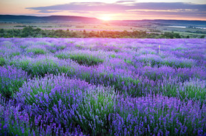 Lavendar is a beautiful ingredient in hyaluronic acid serums