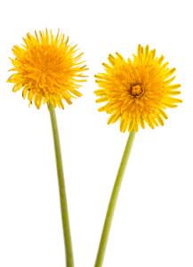 dandelion - plant stem cells in skincare