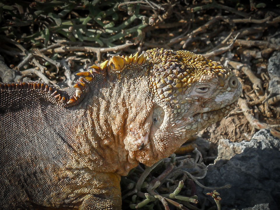 Galapagos Islands land iguana