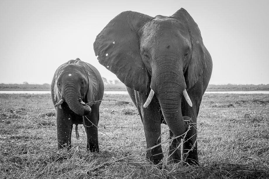 Botswana chobe national park elephants