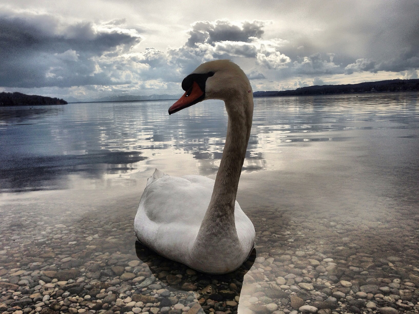 Swan Day 16