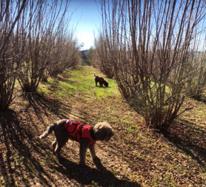Truffle Dog California
