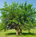mulberry tree