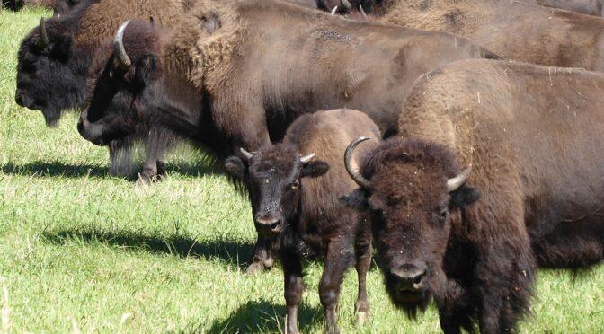 Badlands & Black Hills, Buffalos & Bikes: Close Encounters with Wildlife in South Dakota's Custer State Park