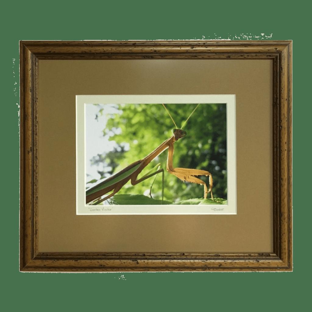 Praying Mantis Photography