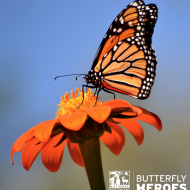 """National Wildlife Federation's """"Butterfly Hero Campaign"""": Save the Iconic Monarch Butterfly"""