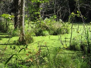 swamp copy