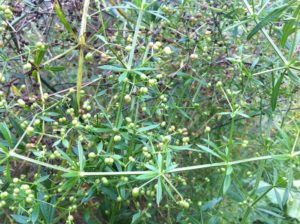 cleavers gone to seed, ready to prepare 'coffee'.