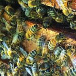 The Sacred Gardener Bees