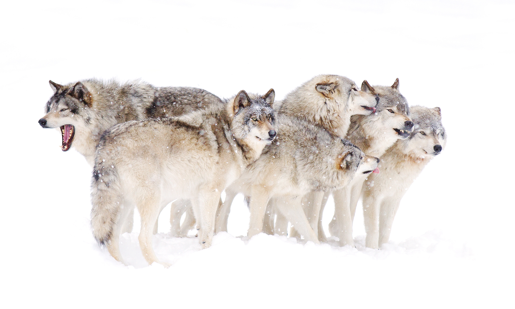 Sophie and the Wolves