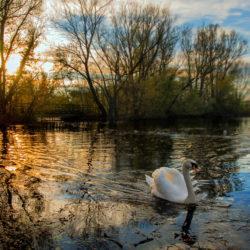 Swan gliding across Lake