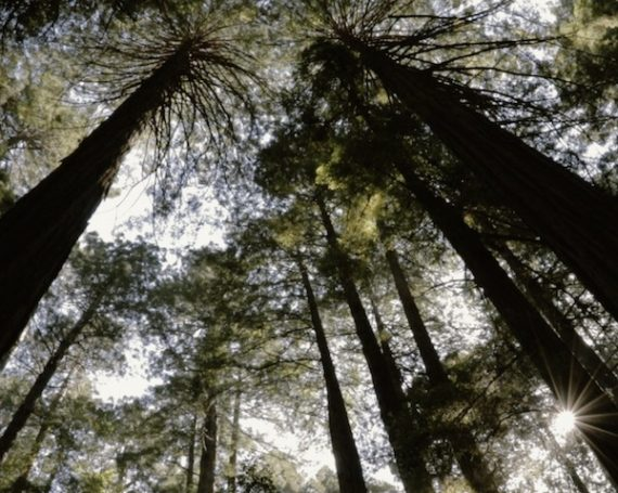 In the Shadow of Tall Trees