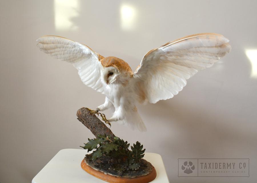 taxidermy flying barn owl