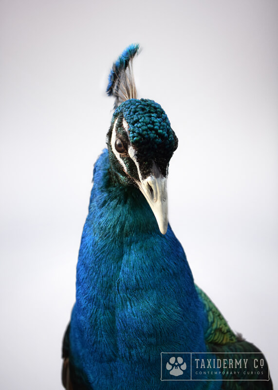 Taxidermy Black Shouldered Peacock