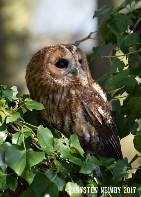 Tawny Owl Wildlife Photography Print