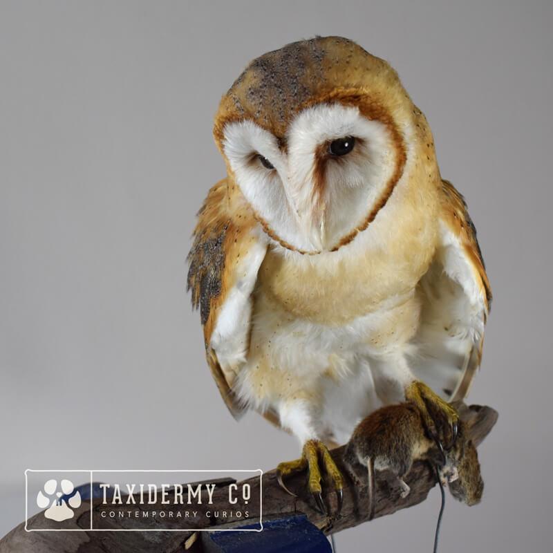 Taxidermy Barn Owl