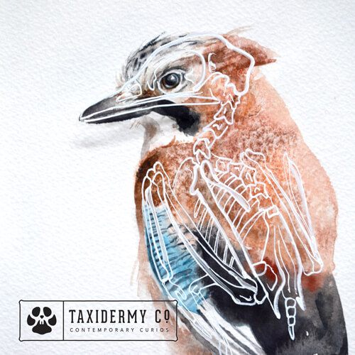 Anatomy of a Jay Original Watercolour Skeleton Art