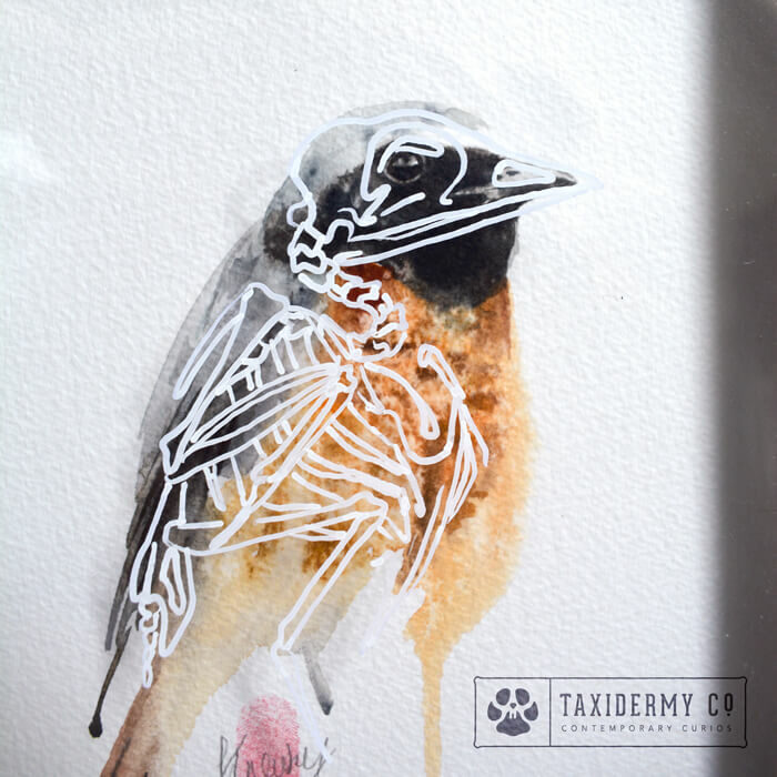 Redstart Bird Anatomy Watercolour Painting