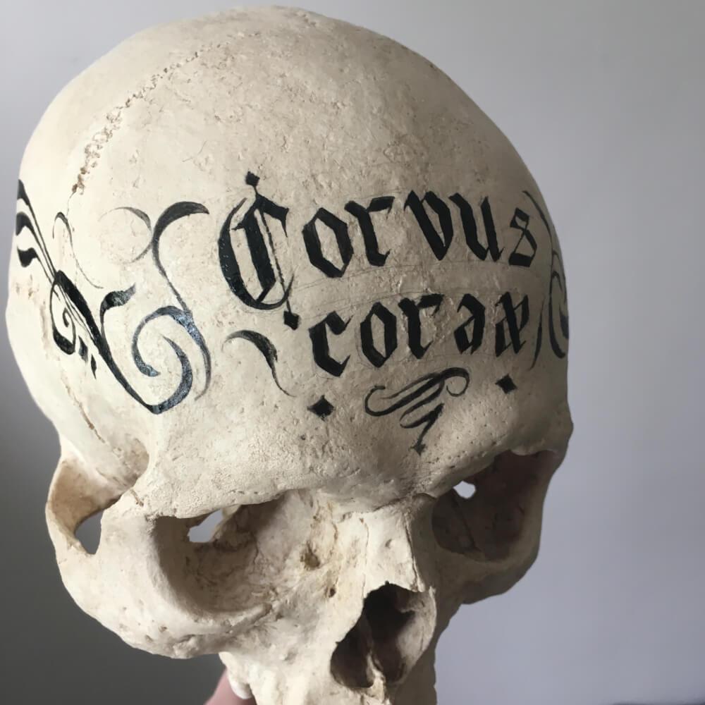 Taxidermy Skull Raven