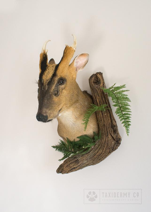 Taxidermy Muntjac Deer