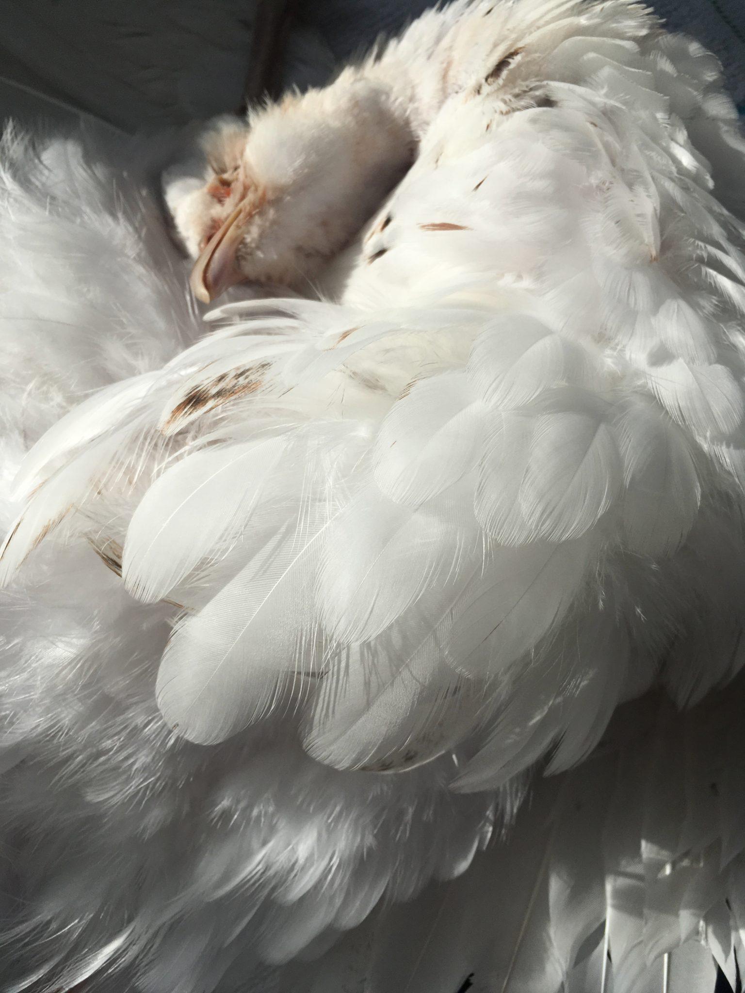 White Hen Pheasant Taxidermy
