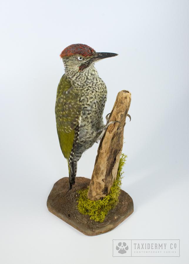 image of Picus viridis taxidermy juvenile green woodpecker
