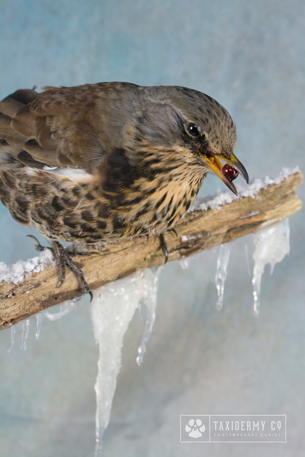 Taxidermy Fieldfare Bird