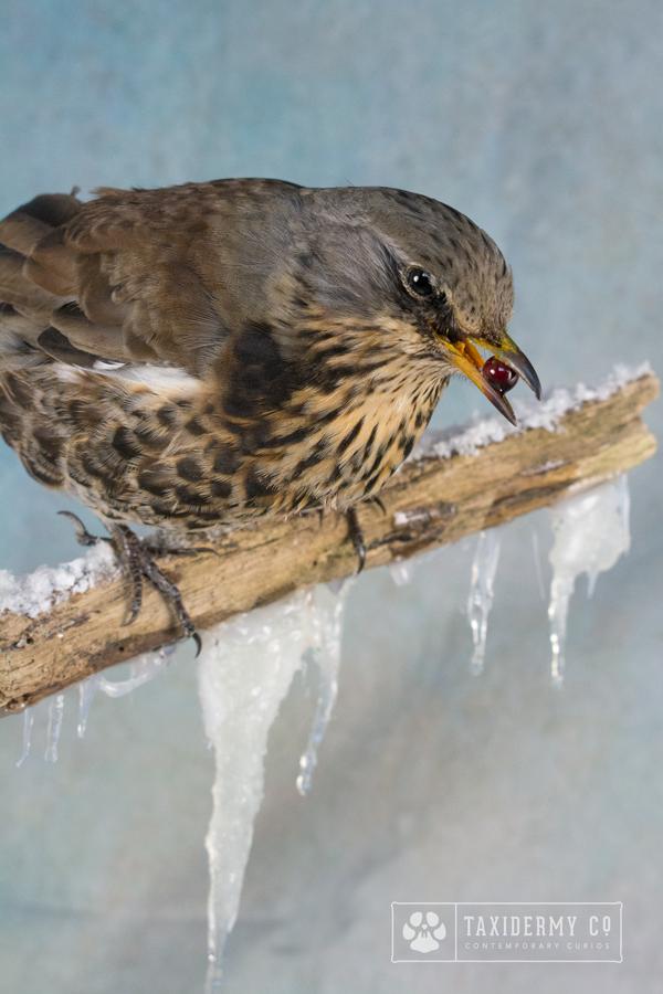 Taxidermy Fieldfare Bird