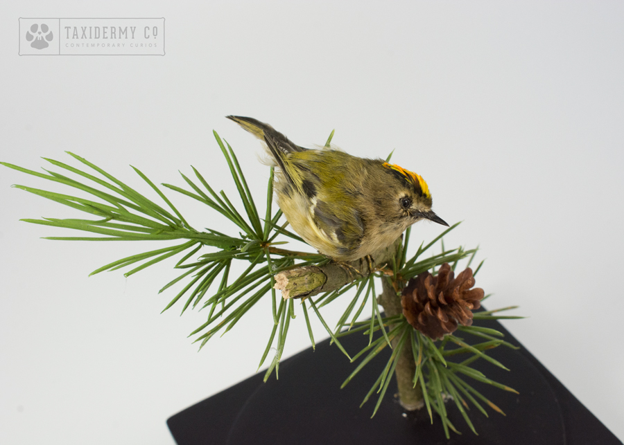 Small Bird Taxidermy