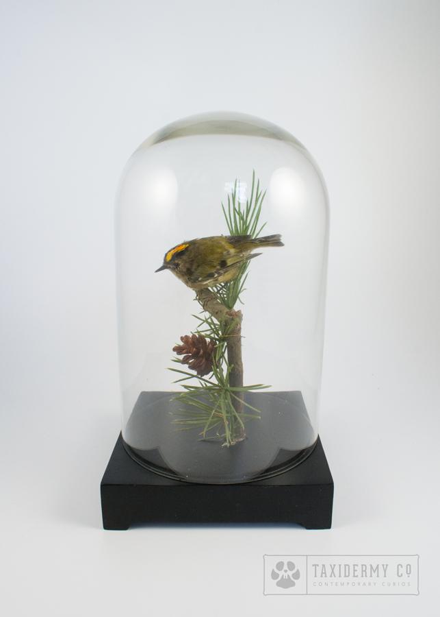 Small Bird Taxidermy