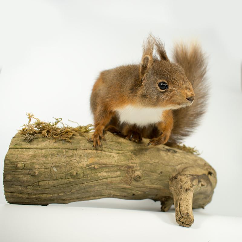 Taxidermy Red Squirrel