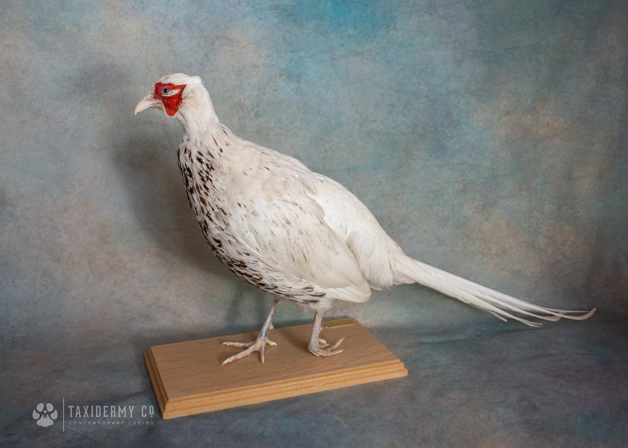 White-Pheasant-Taxidermy