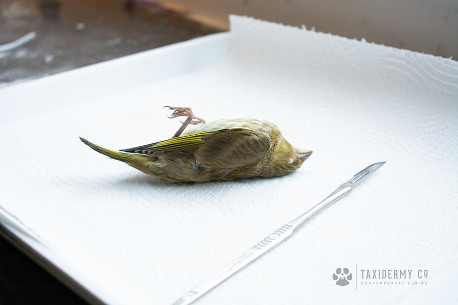 Taxidermy Dead Bird