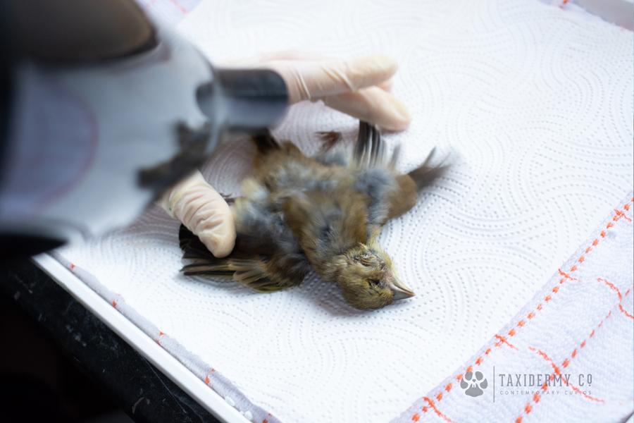 Taxidermy Drying Bird