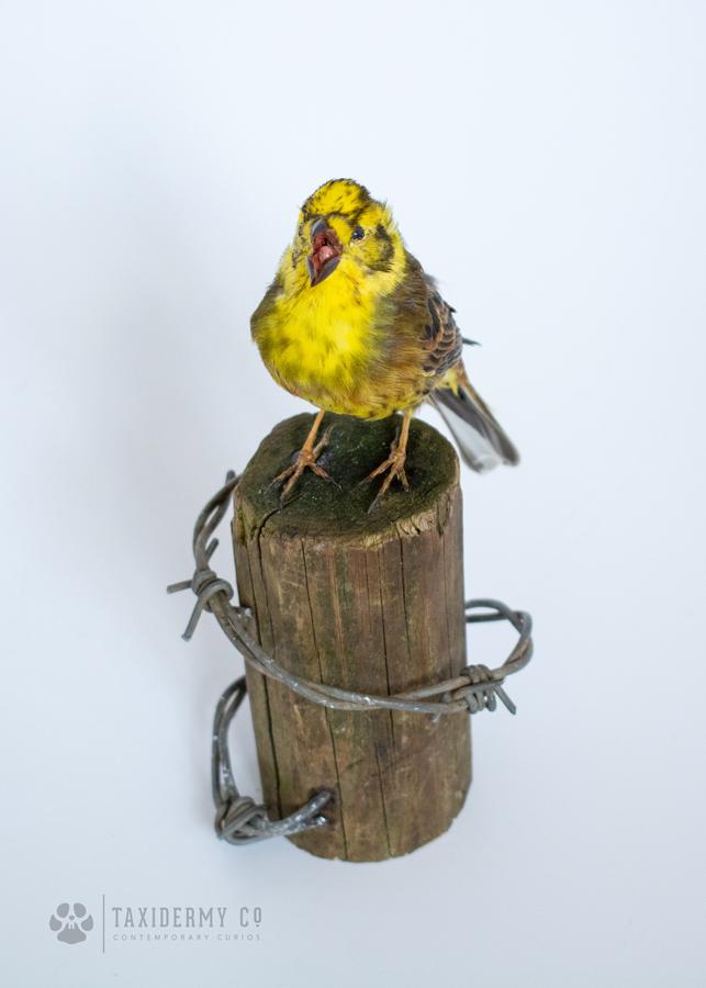 Taxidermy Yellowhammer Bird