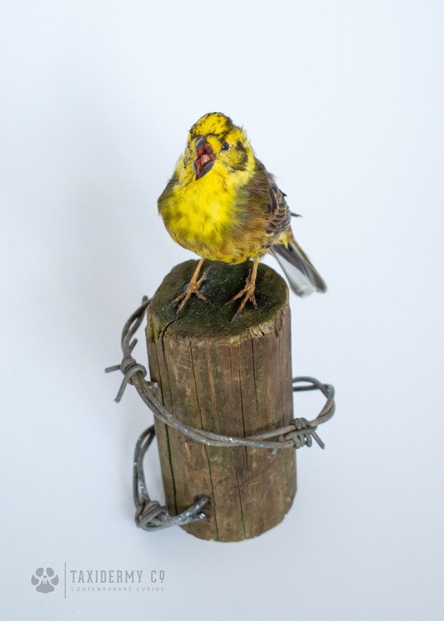 Taxidermy Yellowhammer Bird