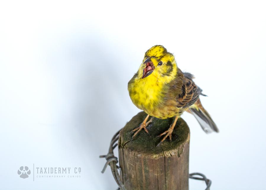 Taxidermy Yellowhammer Bird Suffolk Wildlife
