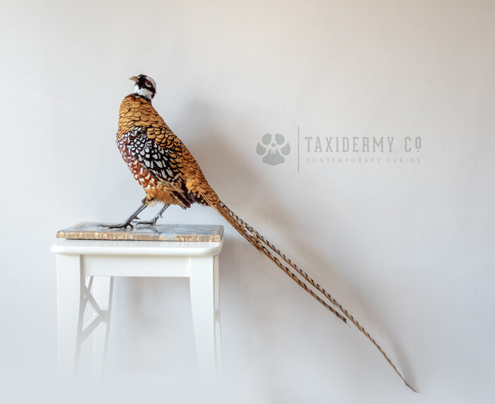 Taxidermy Reeves's Ornamental Pheasant