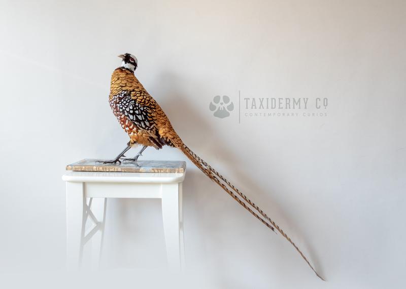 Taxidermy Reeves's Ornamental Pheasant