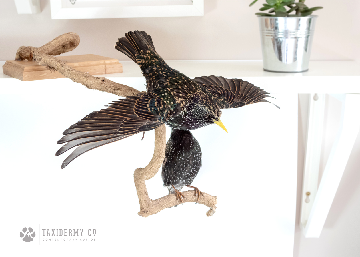 Taxidermy Starlings Bird For Sale