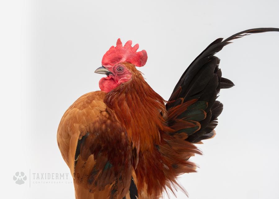 Taxidermy Serama Chicken Commission