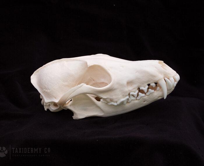 Adult Red Fox Skull for Sale (Vulpes vulpes)
