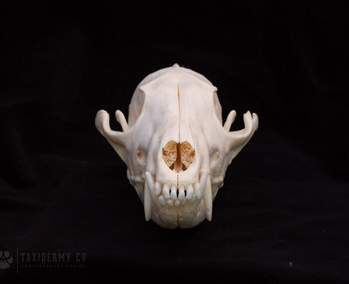Image of Red Fox Skull