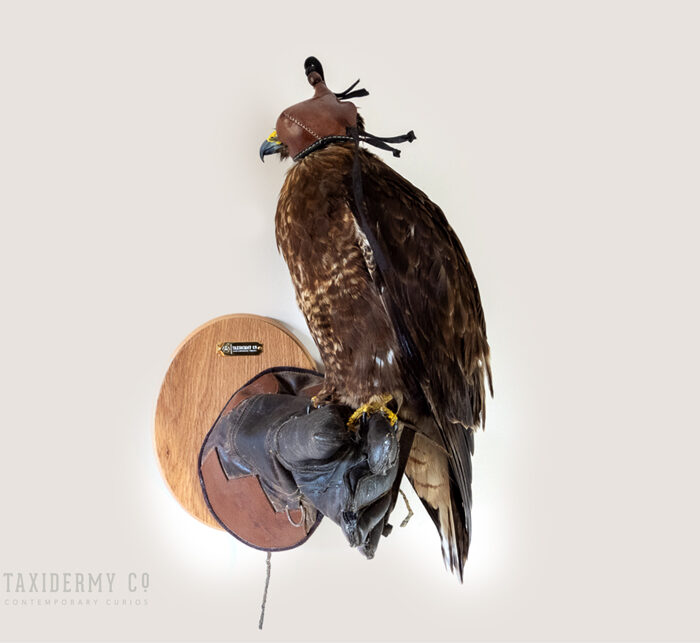 Taxidermy Buzzard on Falconry Glove